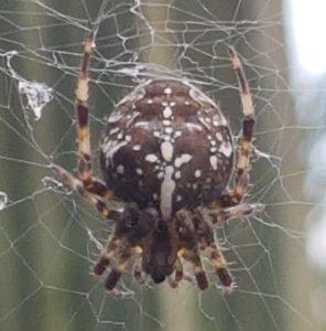 very pretty spider in web